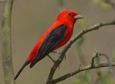 My sweet daughter and I saw this very elusive migratory bird today in our back yard!  It is a Scarlet Tanager.  THRILLED!!!