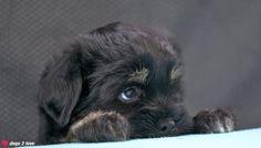 Shen-Mani Carlie / Tibet Terrier