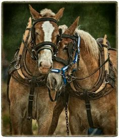 (Photograph copyright 2012 by Dan Routh) A pair of Belgian work horses. Big Horses, Work Horses, Pretty Horses, Horse Love, Beautiful Horses, Animals Beautiful, Black Horses, Horse Photos, Horse Pictures