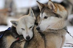 Huskey dogs | Siberian Husky resting on another dog after a ride. Photo: AFP
