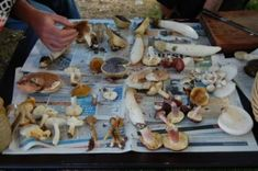 4 Safe Edible Mushrooms for Foragers and Cheapskates (At least 3 found in Florida!)