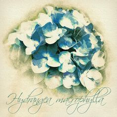 Hydrangea macrophylla  Digital Download Art botanical print