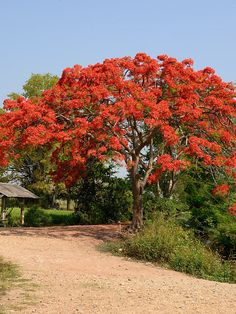 Flamboyant Royal Poinciana Tree #DEL-REG