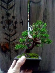 shohin bonsai - Buscar con Google