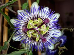 passionflower-1217355_960_720