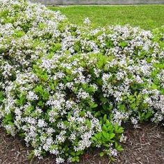 INDIAN HAWTHORNE is a compact mounding dense spring blooming shrub. Great for foundation plantings or in mass for a dramatic care free bed. Flowers are normally either white or pink.