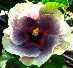 Tahitian Hibiscus 'Taui'