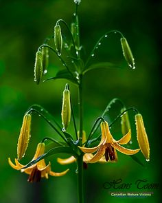 Lady Slipper Orchid, Yellow Wildflowers, Rain Drops, Womens Slippers, Planet Earth, Wild Flowers, Orchids, Lily, Plants