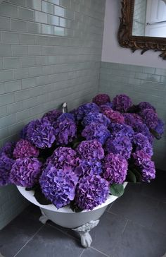 Deep blue - purple Hydrangeas in the tub - love it!