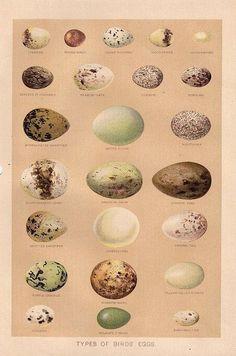 Free Graphic: Beautiful Bird Eggs - The Graphics Fairy by esmeralda