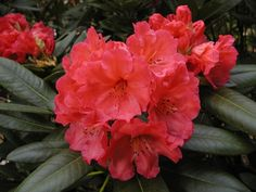 Thank you for taking a look at one of our several hundred Hybrid Rhododendrons we have for sale on Etsy and our website! At RhododendronsDirect.com, all we do is Rhododendrons!    Product Description    Bloom Color: Orange    Bloom Season:       Mid Season    Plant Height(potential in 10 years): 4 feet    Hardy to: -5 F      Container Size/Age:  Five Gallon Plant -  These rhododendrons are typically rooting into a five gallon container or have spent two or more years as a field grown plant…