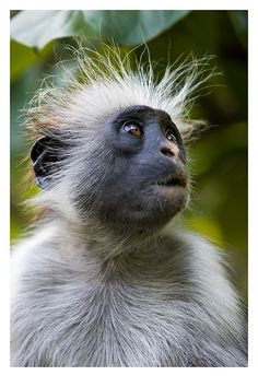 """The red colobus is a species of Old World monkey that can be found in West African forests. Colobus is derived from the Greek word """"Colobe"""" which means """"cripple"""". This is due to the fact that they are lacking thumbs. However this is an advantage for this arboreal species as it allows them to swing from branch to branch with more ease. Colobus monkeys are known to utilize a tree branch like a trampoline and jump up and down on a branch in order to get liftoff for a leap of as much as 50 feet!"""