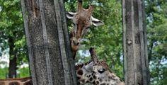 V Zoo Plzeň se chystá loučení s prázdninami Giraffe, Animals, Bude, Omega, Felt Giraffe, Animales, Animaux, Giraffes, Animal