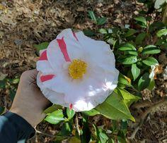 Camellia japonica 'Sweetie Pie'