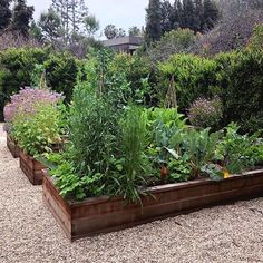 Luv these beautiful overflowing raised beds brimming with herbs and veg and set on this neat gravel base. Getting excited for the edible gardens this Spring! What are you growing 💚🌷💚🌷💚 . Raised Garden Beds, Raised Beds, Container Vegetables, Annual Flowers, Growing Herbs, Edible Garden, Get Excited, Vegetable Garden, Plants