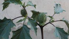Estramonio, una planta venenosa, de la familia de las solanáceas.