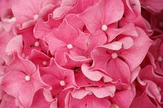 Hyrdangea Blossoms - Flower photography. Photo by Nancy Aurand-Humpf
