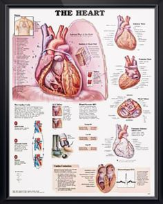 The Heart anatomy poster features cutaways of interior structures of the anterior view of heart sitting on diaphragm. Cardiology chart for doctors and nurses. #clinicalposters