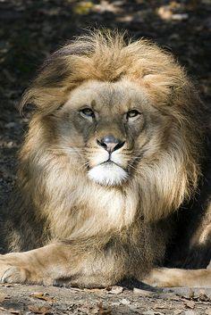 lion eye   Lion eye   Flickr - Photo Sharing!
