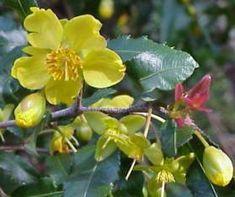 Ochna Serrulata  flowers           Carnival Bush/ Mickey Mouse Bush          Fynblaarrooihout        2-3 m  (6)        S A no 479,1