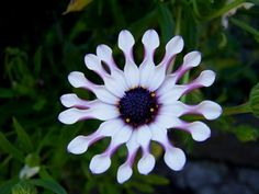 white & lilac flower Lilac Flowers, Nature Plants, Planting Flowers, Dwarf Lilac