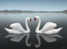 Swans together ♥