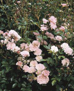The Fairy Polyantha Rose