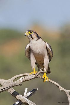 The Laner Falcon - Falco biarmicus, is a large bird of prey that breeds in Africa, southeast Europe and into Asia. Photo by Mike Heramb.