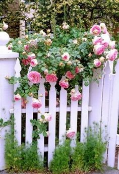 pink roses on a white picket fence