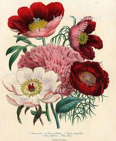 BOTANICAL PRINT Loudon Flower 8x10 Botanical Art Print 1 Beautiful Peony Peonies Bouquet Paeonia albilflora Pink White Red Spring Garden