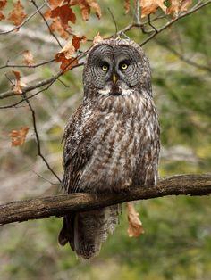 Great grey owl by Jim Richmond