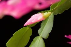 Unlike many other cactus plants, the Christmas cactus (Schlumbergera bridgesii) is not a cactus from a hot, dry climate but rather one from a tropical climate. In the U.S. it is grown primarily as a ...