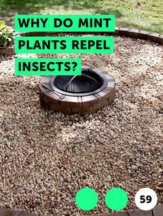 Why Do Mint Plants Repel Insects?. For centuries mints have been used to embalm, preserve food and ward against insect infestations. All species of mint, both wild and cultivated, contain aromatic properties repulsive to insects. The essence is contained in the stems, leaves and flowers of the plants. When the plants are brushed against or crushed,...