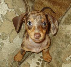 Willie The sweetest chocolate dapple miniature dachshund ever! Dapple Dachshund Puppy, Dachshund Funny, Dachshund Puppies For Sale, Dachshund Love, Daschund, Sweet Dogs, Miniature Dachshunds, Baby Dogs, Doggies