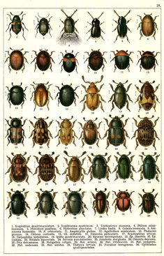 """G.G. Yakobson (1905-1915) - """"Beetles of Russia"""": table 18"""