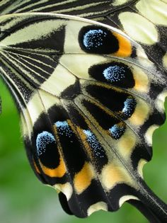 Close up of hind wing on Emperor Swallowtail Latin: Papilio ophidicephalus - Anita Smith Home Moth Wings, Insect Wings, Insect Art, Butterfly Dragon, Purple Butterfly, Butterfly Wings, Monarch Butterfly, Butterfly Photos, Butterfly Kisses