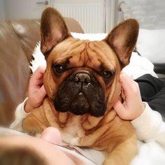Elvis, the French Bulldog ❤❤