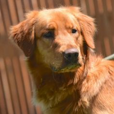 This is Skye - 1 yr. He is neutered, current on vaccinations, potty trained, prefers a home with no young kids. He is new top rescue. Golden Retriever Rescue Of The Rockies. CO. - https://www.petfinder.com/petdetail/29571547/ - http://www.goldenrescue.com/component/hikashop/product/178-skye