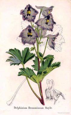 Ranunculaceae - Delphinium brunonianum. From: La Belgique horticole, journal des jardins et des vergers founded by Charles François Antoine Morren and edited by Charles Jacques Édouard Morren.