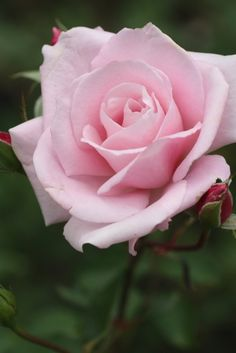Rosa 'Sakuragai' (Japan, 1996)