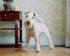Lakeland Terrier - photo from etsy