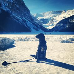 My flat coated retriever/ border collie mix at lake Louise! Flat Coated Retriever, Border Collie Mix, Mount Everest, Mountains, Friends, Nature, Travel, Amigos, Naturaleza