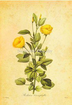 Cienfuegosia heterophalla Redouté Botanical Illustration by SurrendrDorothy, via Flickr