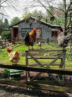 I love seeing chickens like this roosted! I love seeing chickens like this roosted!,Manzara I love seeing chickens like this roosted! Country Farm, Country Life, Country Living, Country Roads, Farm Animals, Animals And Pets, Country Scenes, Chickens And Roosters, Down On The Farm