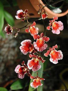 Oncidium orchids