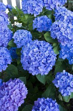 Look at that color! It's a shade somewhere between blue and purple. Because of that, and the way the flowers are shaped, they seem to glow. Hortensia Hydrangea, Hydrangea Garden, Garden Shrubs, Hydrangea Flower, All Flowers, Types Of Flowers, Amazing Flowers, Colorful Flowers, Beautiful Flowers