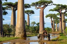 I baobab sono delle vere e proprie riserve di acqua potendone immagazzinare enormi quantità nei loro enormi tronchi. Questi esemplari sono stati fotografati nel Madagascar. The baobabs are genuine reserves of water being able to store huge quantity in their huge trunks. These specimens were photographed in Madagascar.