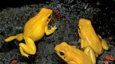 Golden_Poison_Frog2.png (624×351)