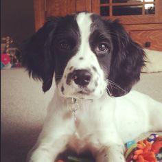 Xoxo #English Springer Spaniel (looks my dog Spook)