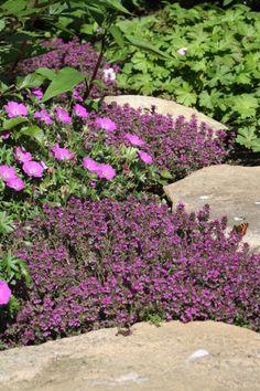 Backtimjan och blodnäva Max frei Allium Christophii, Papaver Orientale, Purple Garden, Secret Places, Dream Garden, Garden Projects, Garden Plants, Garden Landscaping, Gardening Tips